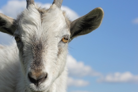 Closeup shoot of a goat on blue sky background Banco de Imagens