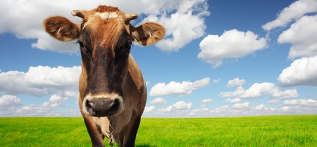 Brown cow standing on a green meadow and looking to a camera photo