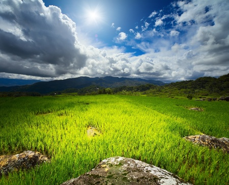 wild rice: Rice field with rocks and mountains on the horizon