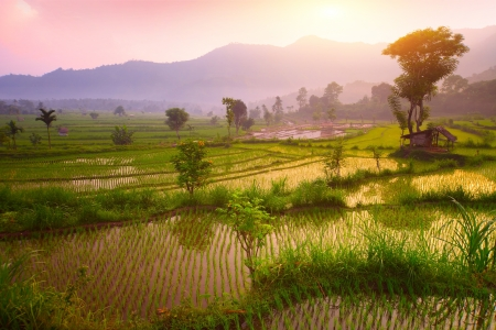 rice terrace: Tropical valley with rice terraces and trees. Bali. Indonesia