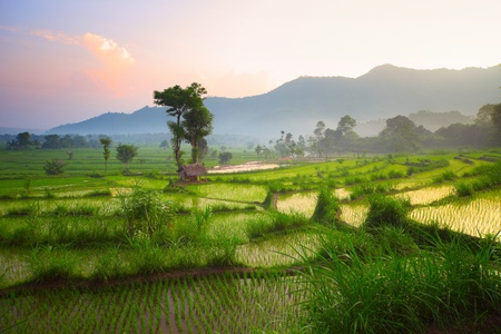 grain fields: Tropical valley with rice terraces and trees. Bali. Indonesia