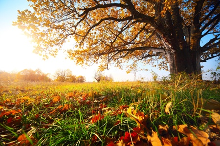 arbol roble: Gran oto�o de roble y la hierba verde en un prado en torno a