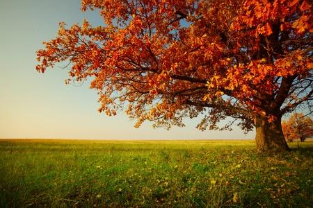 Big jesień dąb i zielona trawa na łące wokół