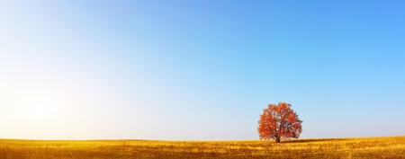 red oak tree: Alone red autumn tree on a meadow with a lot of copyspace Stock Photo