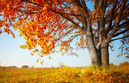 Big autumn oak and grass on a meadow