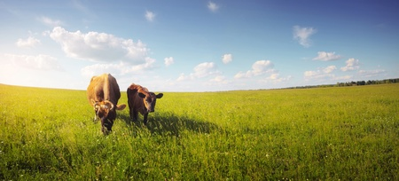 beef cattle: Two cows baby and mother grazing on a meadow. Stock Photo