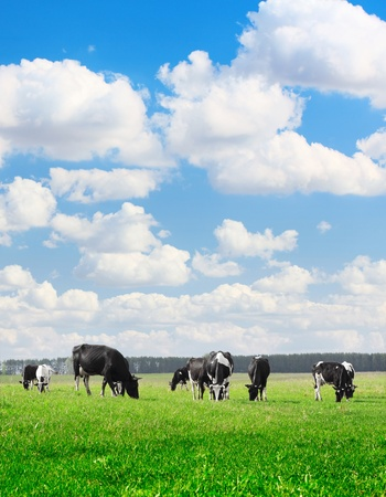 Herd of cows grazing on a green meadow photo