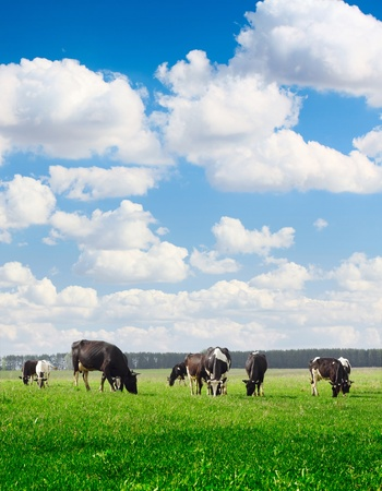 dairy farm: Cows grazing on meadow under blue cloudy sky
