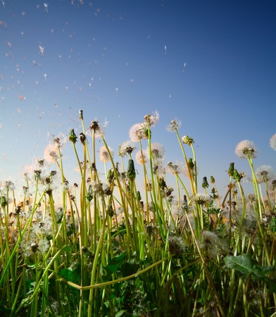 dandelion field: Fluffy dandelions with flying seeds on a blue sky background