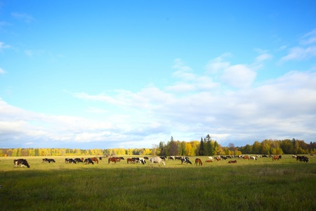 Herd of cows and horses grazing on an autumn meadow photo