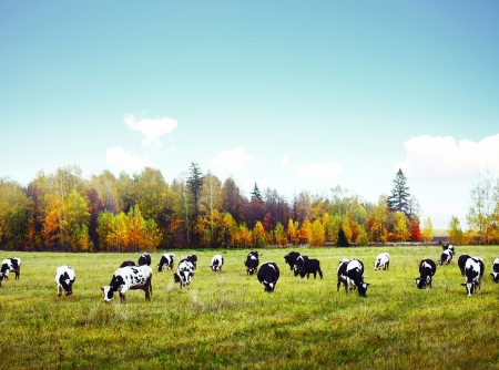Herd of cows grazing on a green meadow with autumn forest and blue sky on a background photo