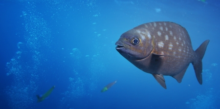 Underwater shoot of a funny fish with open mouth fining in blue clear water Stock Photo - 16835654