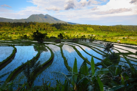 rice plant: Valley with rice fields and trees at sunset light. Bali