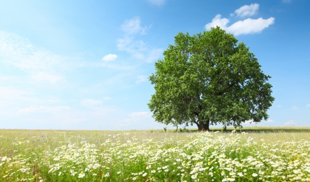 large tree: Green summer meadow with flowers and herbs and big oak tree