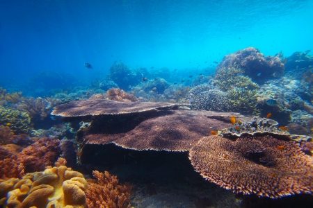 sea bottom: Underwater shoot of vivid coral reef with a large Table corals on foreground