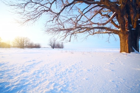 Big oak tree  in a winter snowy field photo