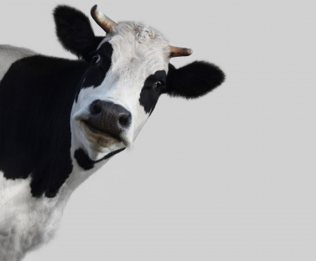 closeup cow face: Funny cow on gray background (18%)
