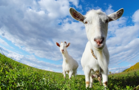 Portrait of a funny goats looking to a camera over blue sky background photo