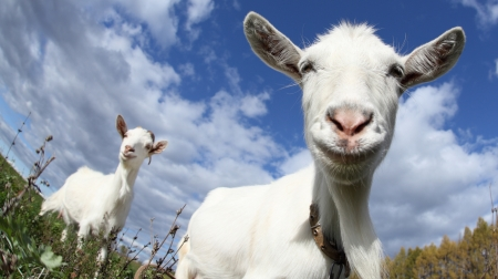 smiling goat: Portrait of a funny goat looking to a camera over blue sky background