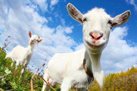 capre: Ritratto di una capra divertente in cerca di una macchina fotografica su sfondo blu cielo