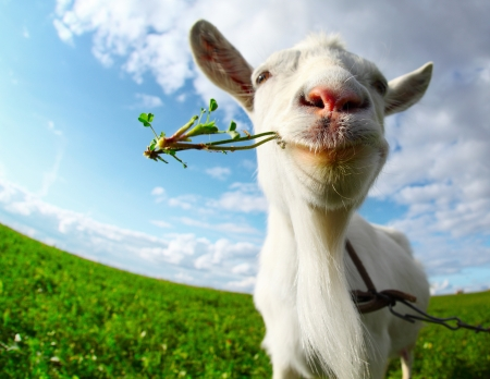 animals horned: Portrait of a goat eating a grass on a green meadow Stock Photo