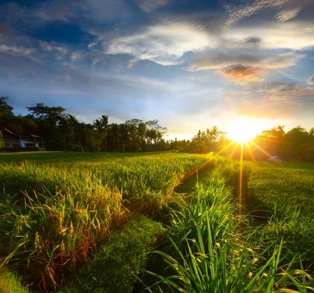 wide wet: Sunset over rice field. Ubud, Bali