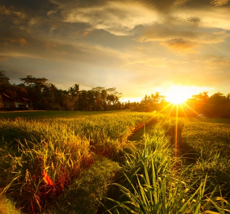 Sunset over rice field. Ubud, Bali photo