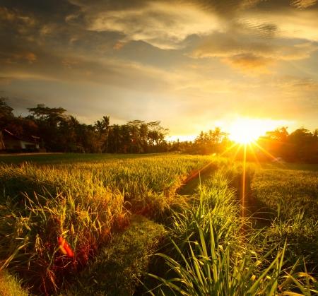 ubud: Sunset over rice field. Ubud, Bali