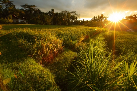 Rice terraces in Ubud surroundings at sunset. Bali island, Indonesia photo