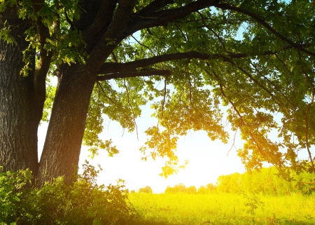 big tree: Oak tree with huge branches on summer meadow at sunny day