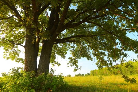 Oak tree with huge branches on summer meadow at sunny day photo