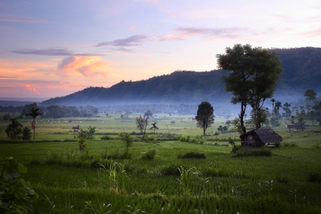 paddy fields: Rice fields and mountains on the horizon at sunrise. Bali. Indonesia
