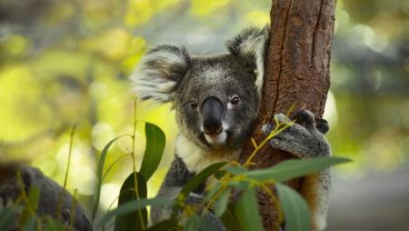 koala: Koala en un árbol con fondo verde arbusto Foto de archivo
