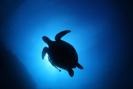 Turtle silhouette in deep blue sea. Coral reef wall of Balicasag island, Philippines photo