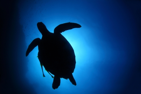 Turtle silhouette in deep blue sea. Coral reef wall of Balicasag island, Philippines Stock Photo - 18027990