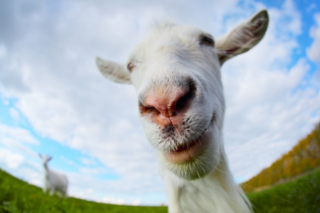 smiling goat: Funny goats portrait on a green sunny meadow background