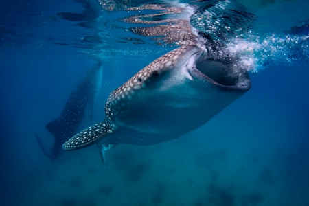Underwater shoot of a gigantic whale sharks ( Rhincodon typus) feeding near surface photo