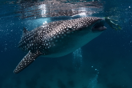 shark bay: Underwater shoot of a gigantic whale shark with young lady snorkeling behind it (right, near mouth)