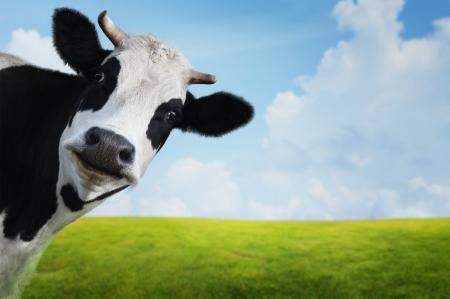 緑の夏の牧草地に変な牛。背景をぼかした写真 写真素材 - 18343530
