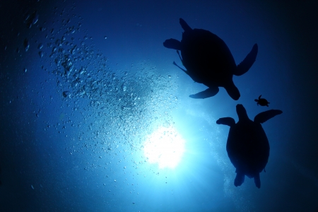 baby turtle: Collage of underwater world with sea turtle family swimming in the depth