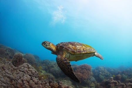 Underwater shoot of a sea turtle (Chelonioidea) swimming over coral reef Stock Photo - 18343911