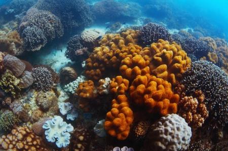 apo: Coral garden in tropical sea. Apo island, Philippines