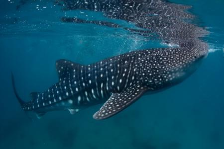 gigantesque: Tournage sous-marin d'un requin baleine g�ante (Rhincodon typus) d'alimentation pr�s de la surface