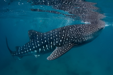 Underwater shoot of a gigantic whale shark ( Rhincodon typus) feeding near surface