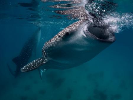 plancton: Disparar bajo el agua de un gigantesco tiburón ballena (Rhincodon typus) de alimentación cerca de la superficie