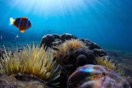 actinia: Red clawn fish swimming near its home situated in poisonous actinia Stock Photo