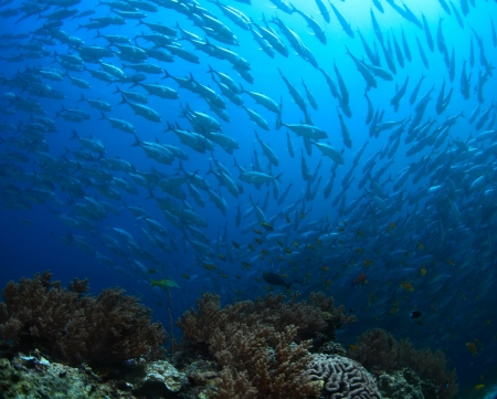 School of Jack fish swirling in a depth Stock Photo - 19451563