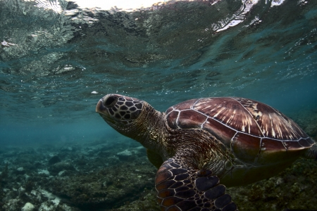 Sea turtle (Chelonioidea) underwater shoot in a shallow water photo