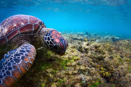Close-up underwater shoot of a sea turtle ( Chelonioidea) grazing on a sea pasture photo