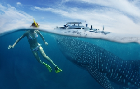 sky dive: Young lady snorkeling in tropical sea with gigantic whale shark ( Rhincodon typus)